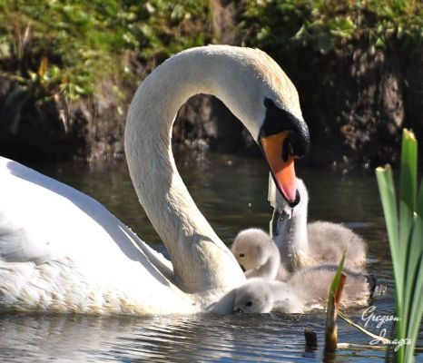 519-The-Swan-family