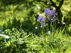 1_475-Late-Bluebells-down-the-lane