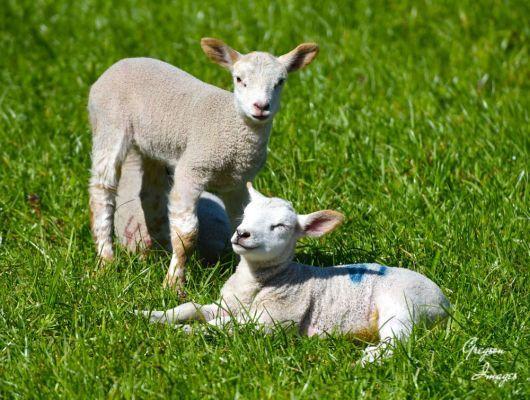 166-Sunbathing-Lamb