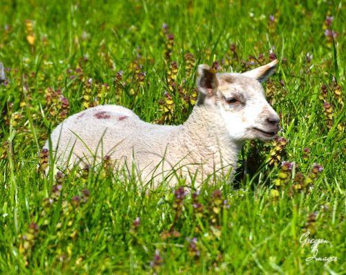 176-Spring-Lamb