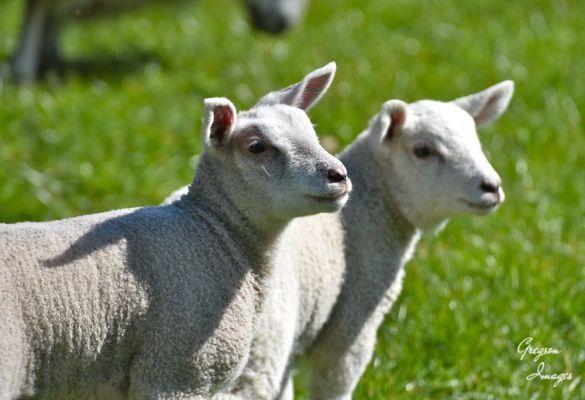 192-Spring-Lambs
