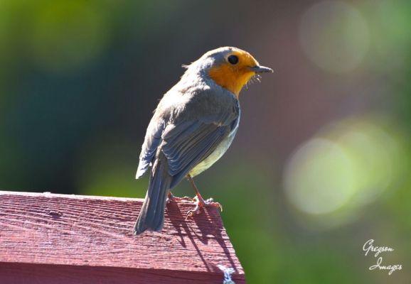 239-Robin-the-back-garden