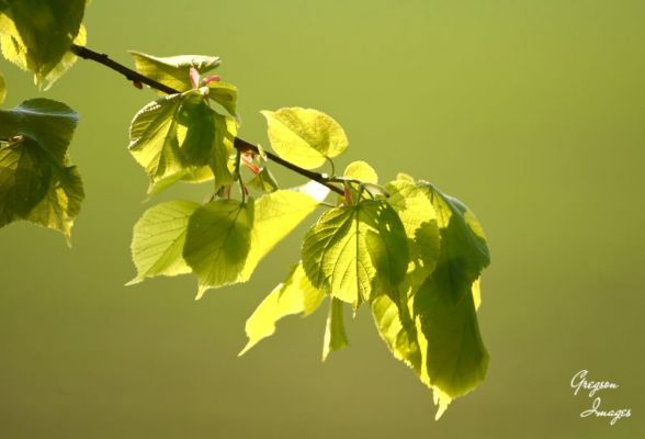 243-New-Beech-leaves-in-Spring