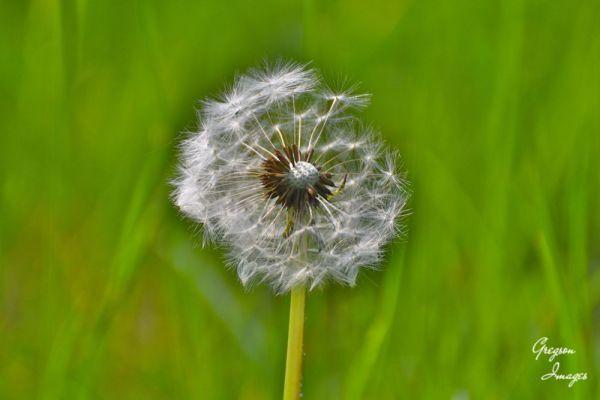 246-Dandelion-Seedhead