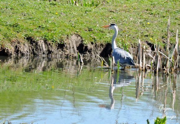259-Grey-Heron-down-the-lane