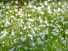 1_185-Stichwort-flowering-by-Banks-Hall