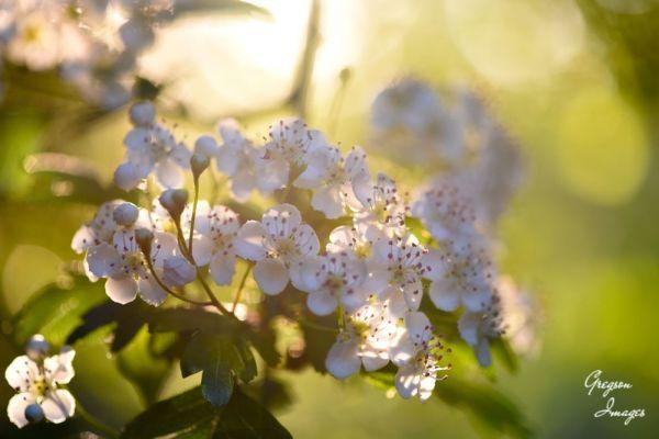 267-Hawthorn-Blossom