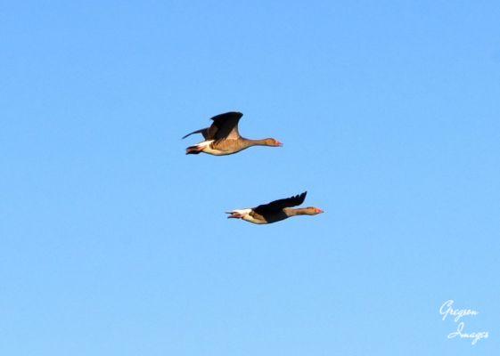 290-Greylag-Geese-in-Flight