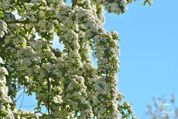 291-Hawthorn-Blossom