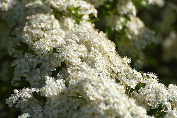 292-Hawthorn-Blossom