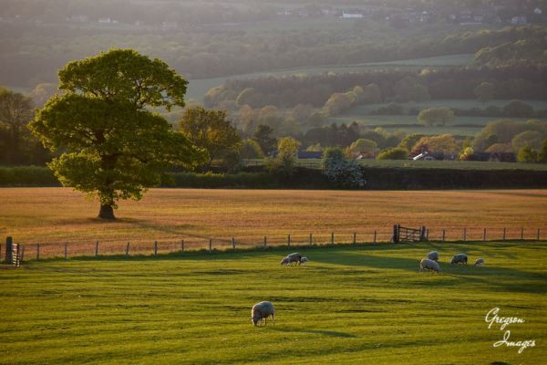 312-Grazing-Sheep-in-the-early-evening-light