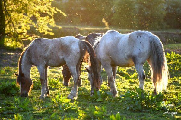 352-Flies-swarming-around-the-horses