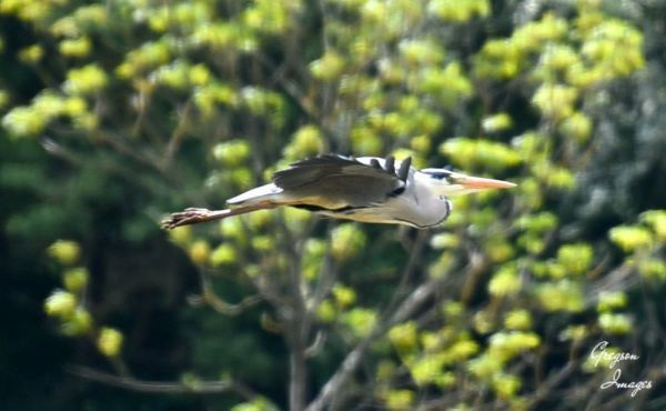 388-Heron-in-flight
