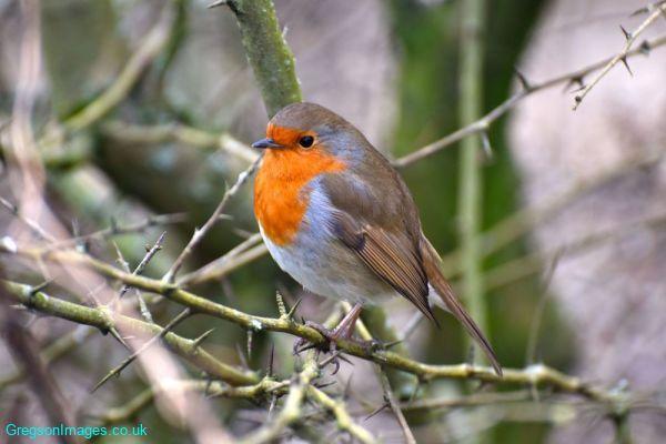 016-Robin