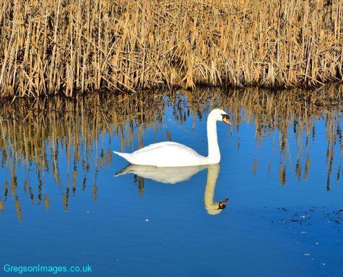 029-Swan-reflecting
