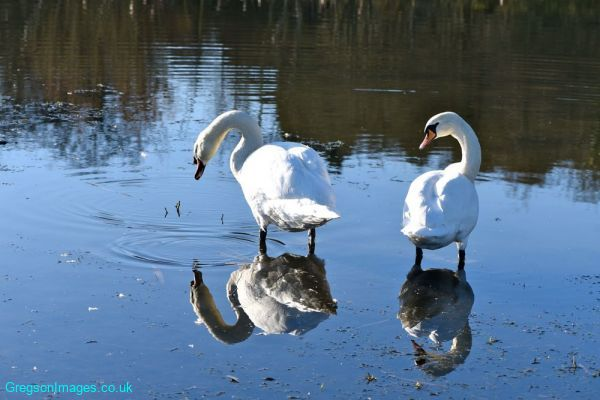 037-Swan-Lake