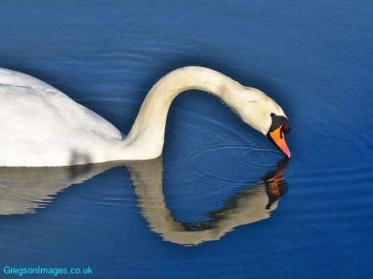 044-Swan-Lake