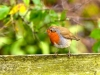037-Robin-in-Winter